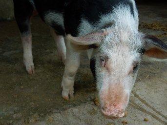 Bacon the pig, Masbate Island, Philippines