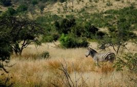 Pilanesberg Zebra, South Africa