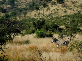 Pilanesberg Zebra, South Africa
