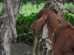 Baby Cow in Las Cruces