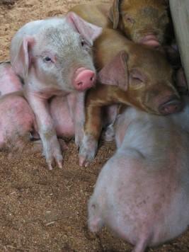 Piglets snuggling