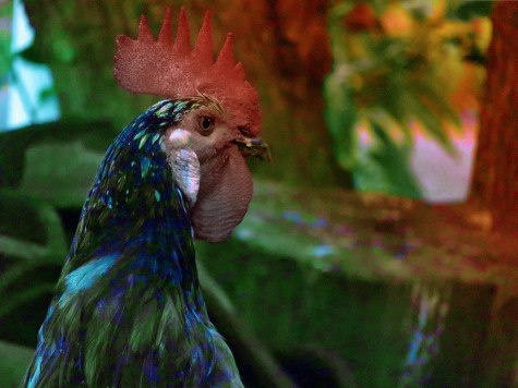 Funky Rooster Edit